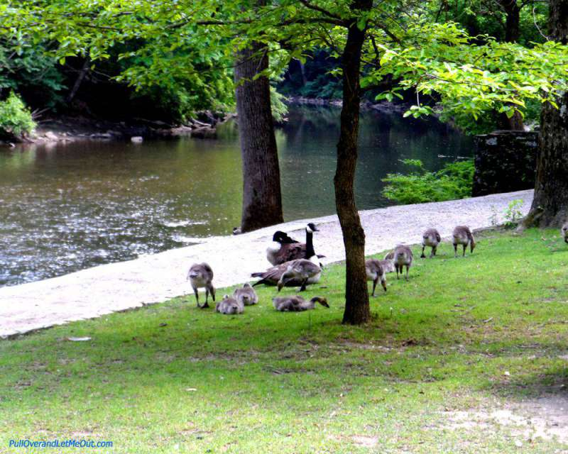 Geese along the banks of the Wissahickon Creek in Philadelphia