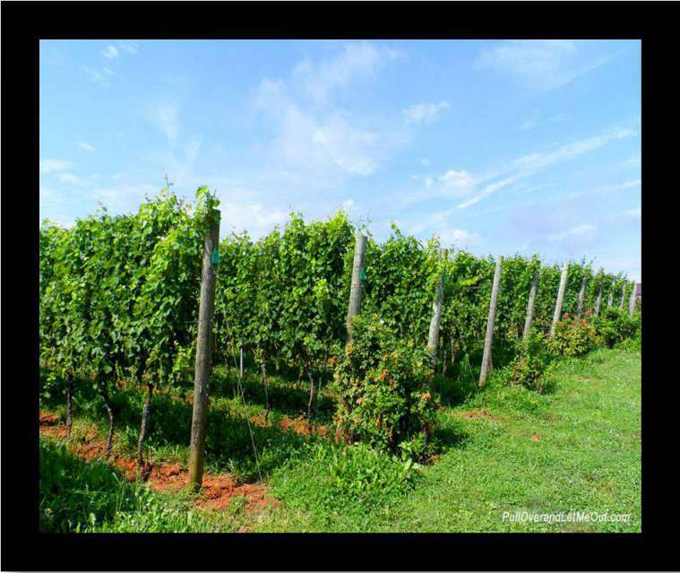 rows and rows of grapevines at Early Mountain Vineyards