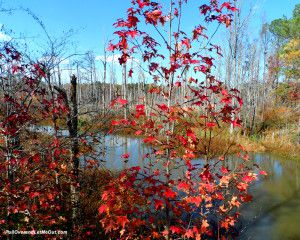 red-tree-at-swamp