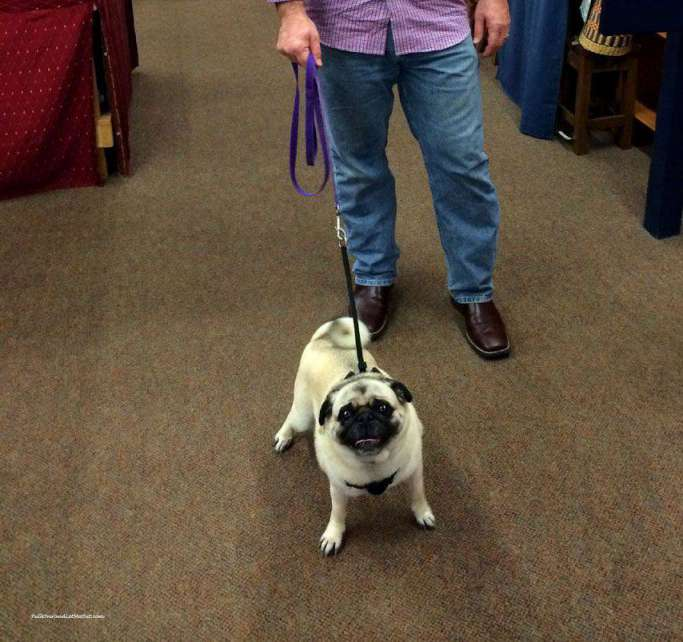 shopping-pug