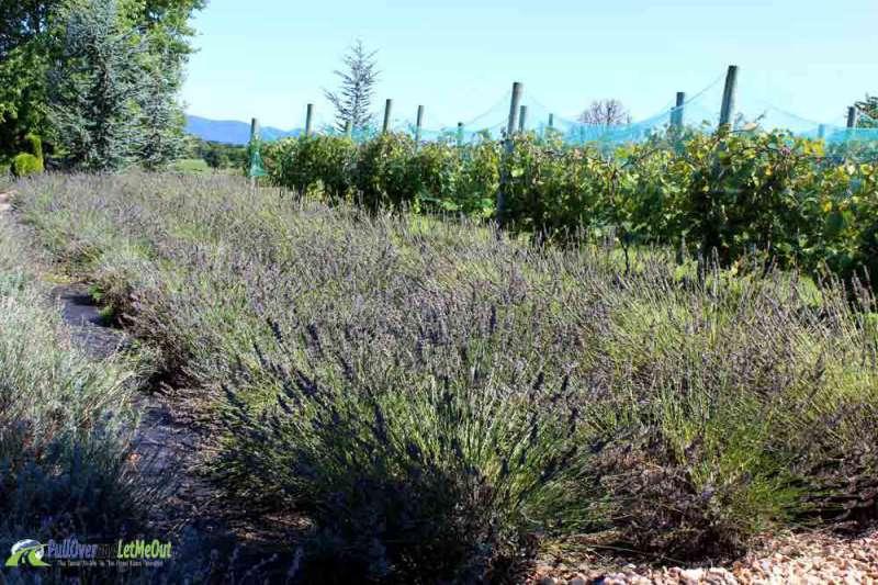 lavender White Oak Lavender PullOverandLetMeOut