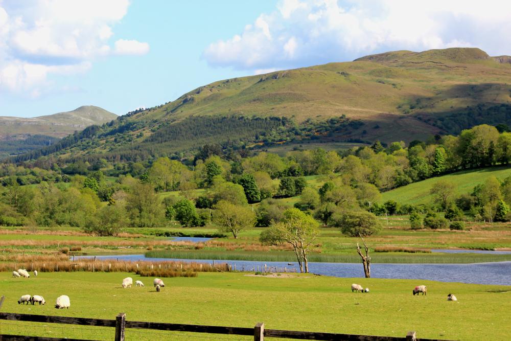 Glencar sheep by the lake Visit Ireland Now PullOverAndLetMeOut