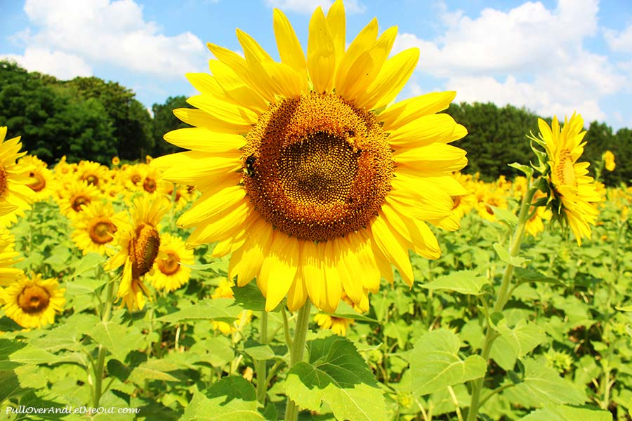 2nd-solo-Dix-Sunflower-Field-Raleigh-PullOverAndLetMeOut