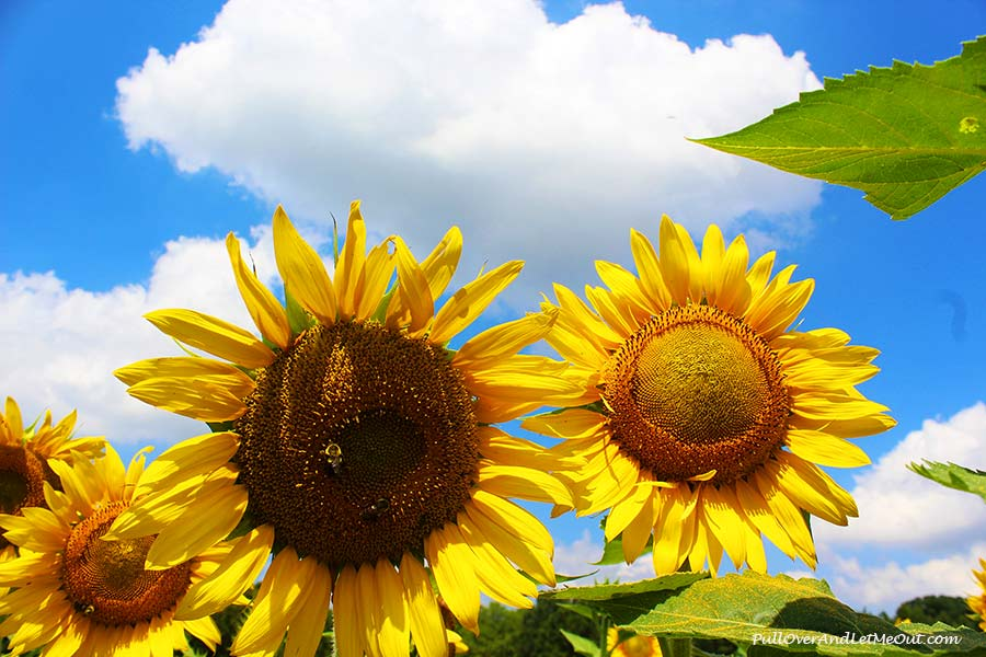 More-Sunflowers-Dix-Sunflower-Field-PullOverAndLetMeOut