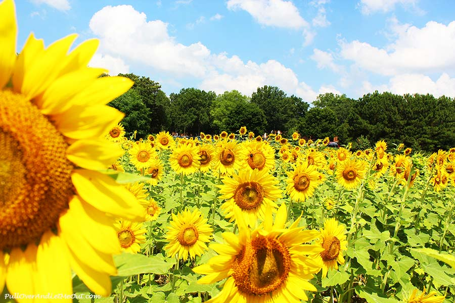 Sunflowers-Dix-Sunflower-Field-Raleigh-PullOverAndLetMeOut-1