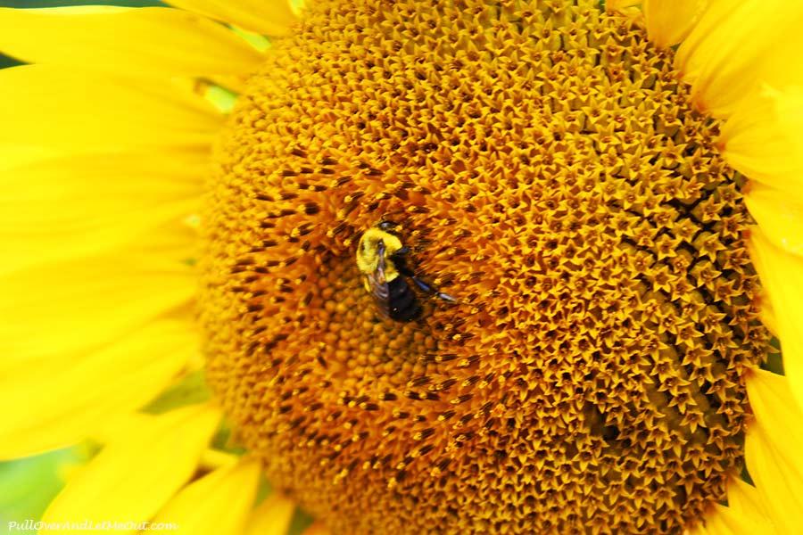 bee-close-Dix-Sunflower-Field-Raleigh-PullOverAndLetMeOut