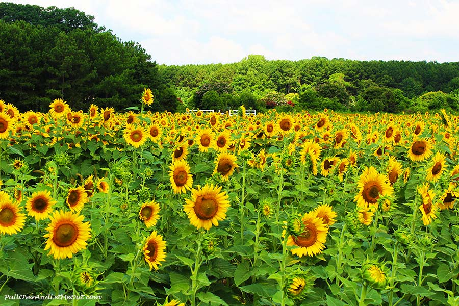 fence-in-distance-Dix-Sunflower-Field-Raleigh-PullOverAndLetMeOut