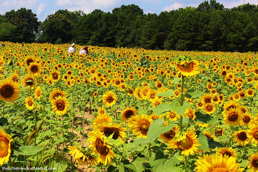 folks-in-the-field-Dix-Sunflower-Field-Raleigh-PullOverAndLetMeOut