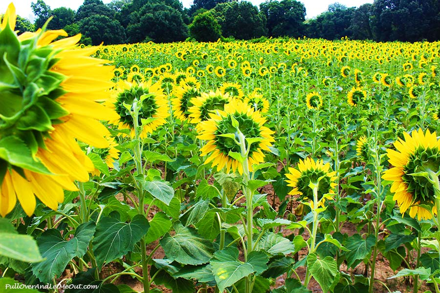 look-away-2-Dix-Sunflower-Field-Raleigh-PullOverAndLetMeOut