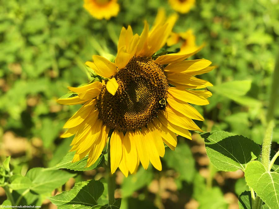 phone-bee-Dix-Sunflower-Field-Raleigh-PullOverAndLetMeOut