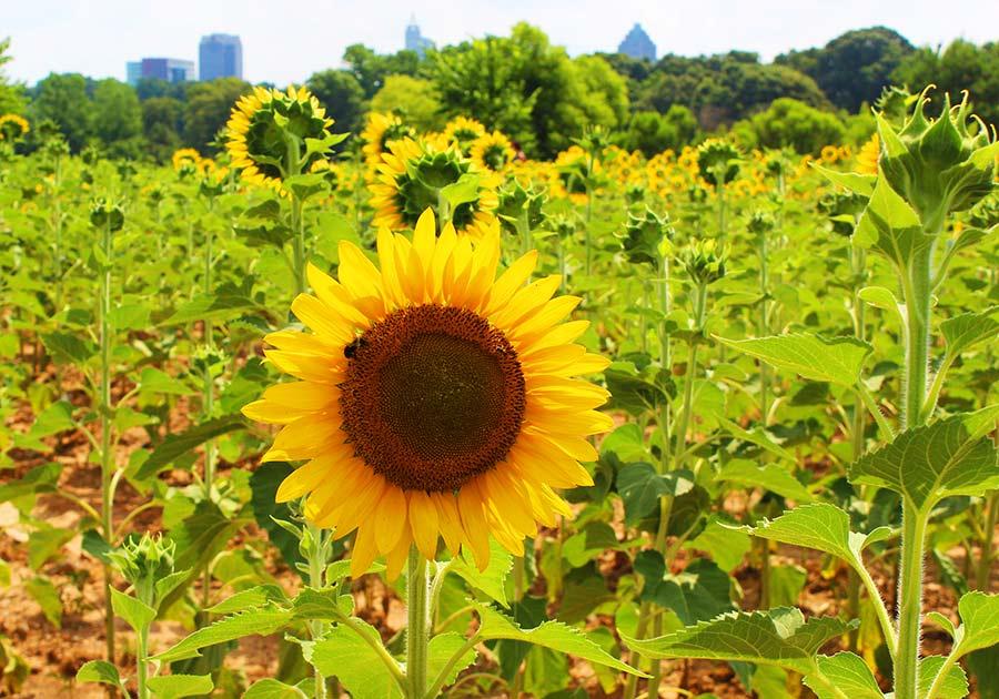 skyline-Dix-Sunflowers-Raleigh-PullOverAndLetMeOut