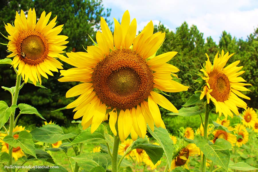 trio-Dix-Sunflower-Field-Raleigh-PullOverAndLetMeOut