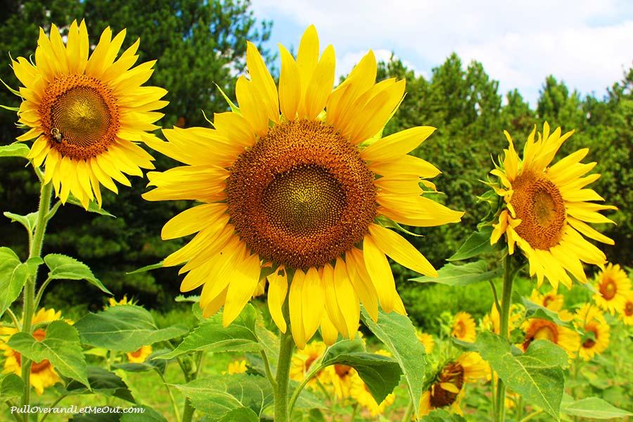 trio-Dix-Sunflower-Field-Raleigh-PullOverAndLetMeOut