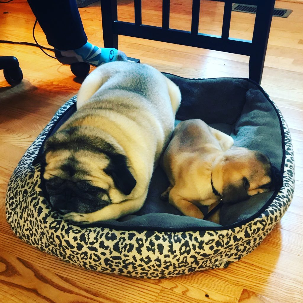Two pugs sleeping in a dog bed. PullOverAndLetMeOut.com