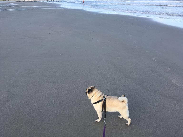 Pug on a beach PullOverAndLetMeOut