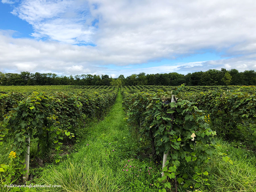 Rows of grapes in a vineyard.