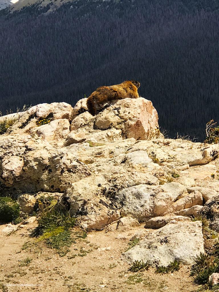 Marmot sunning in Rocky Mountain National Park