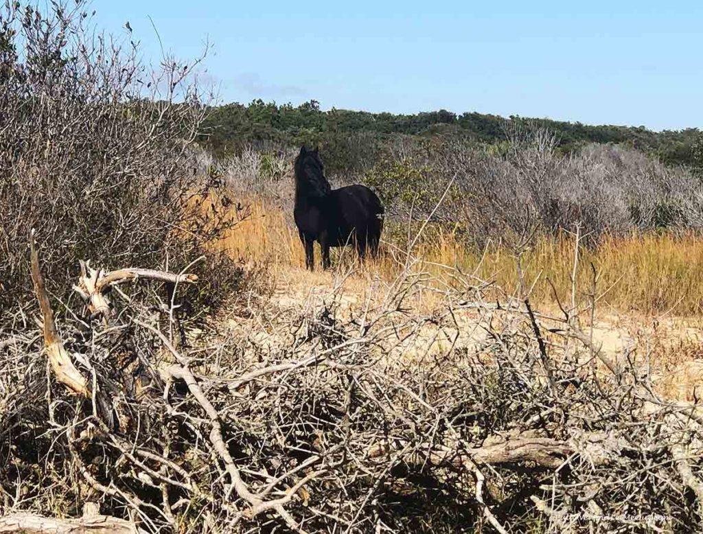 A black wild horse grazing