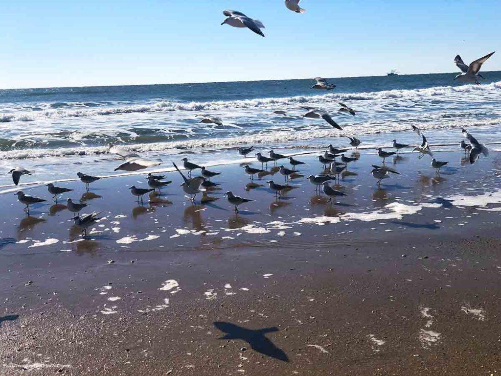 sea gulls on the beach at N. Topsail Beach, North Carolina