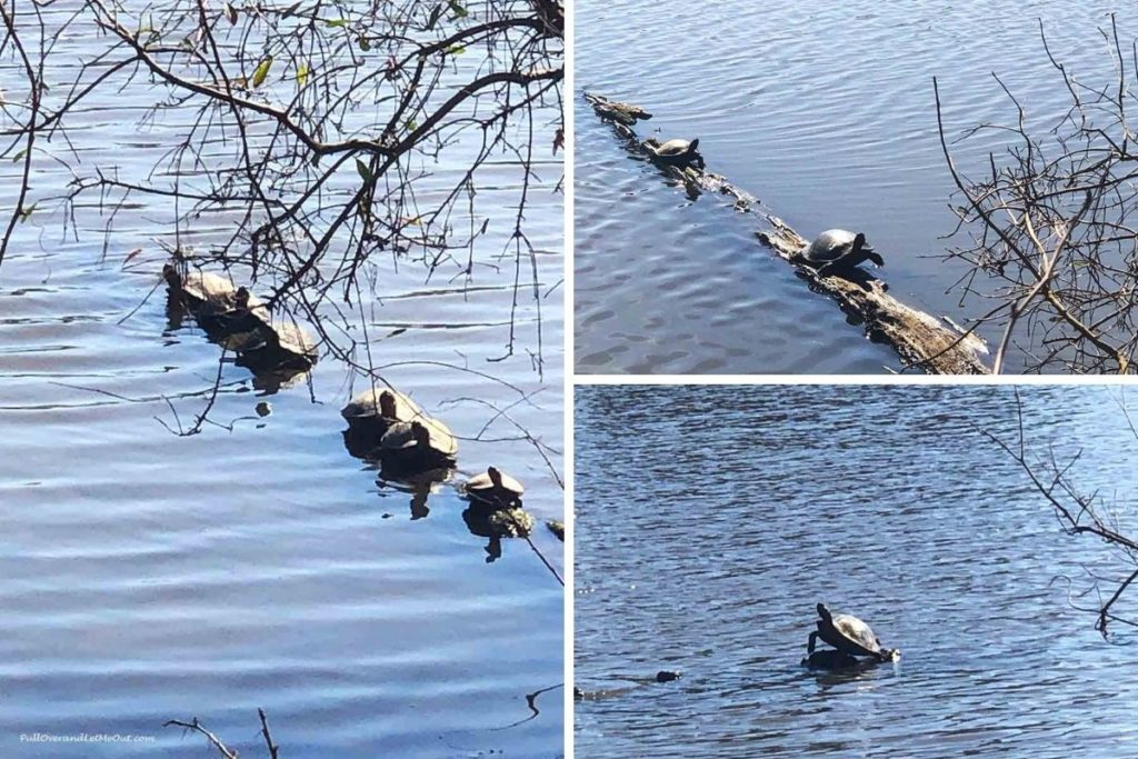 collage of turtles sunning on a log