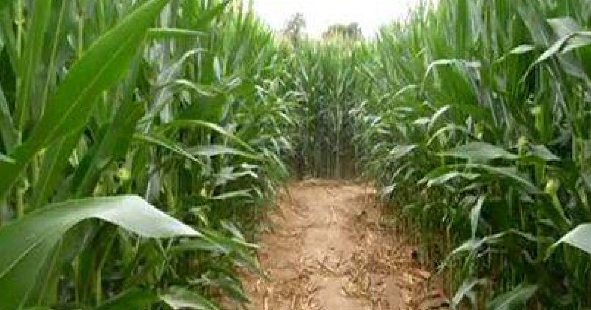 corn-maze